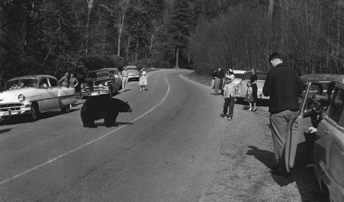1955 TN bearsin the road.jpg
