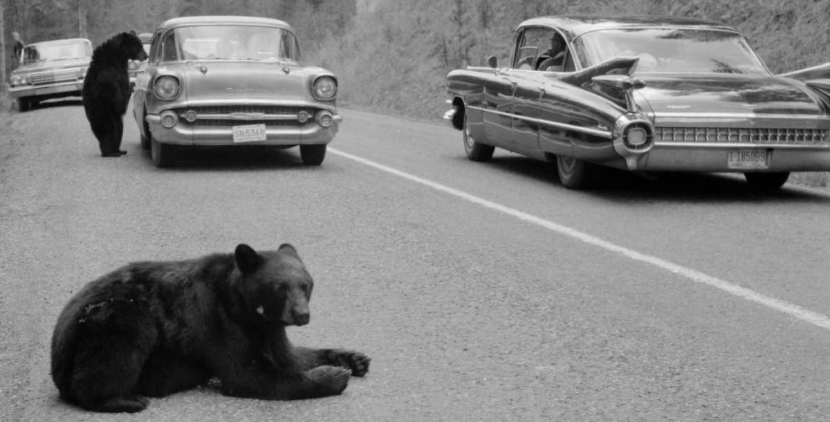 1962 bears begging for food 2.jpg