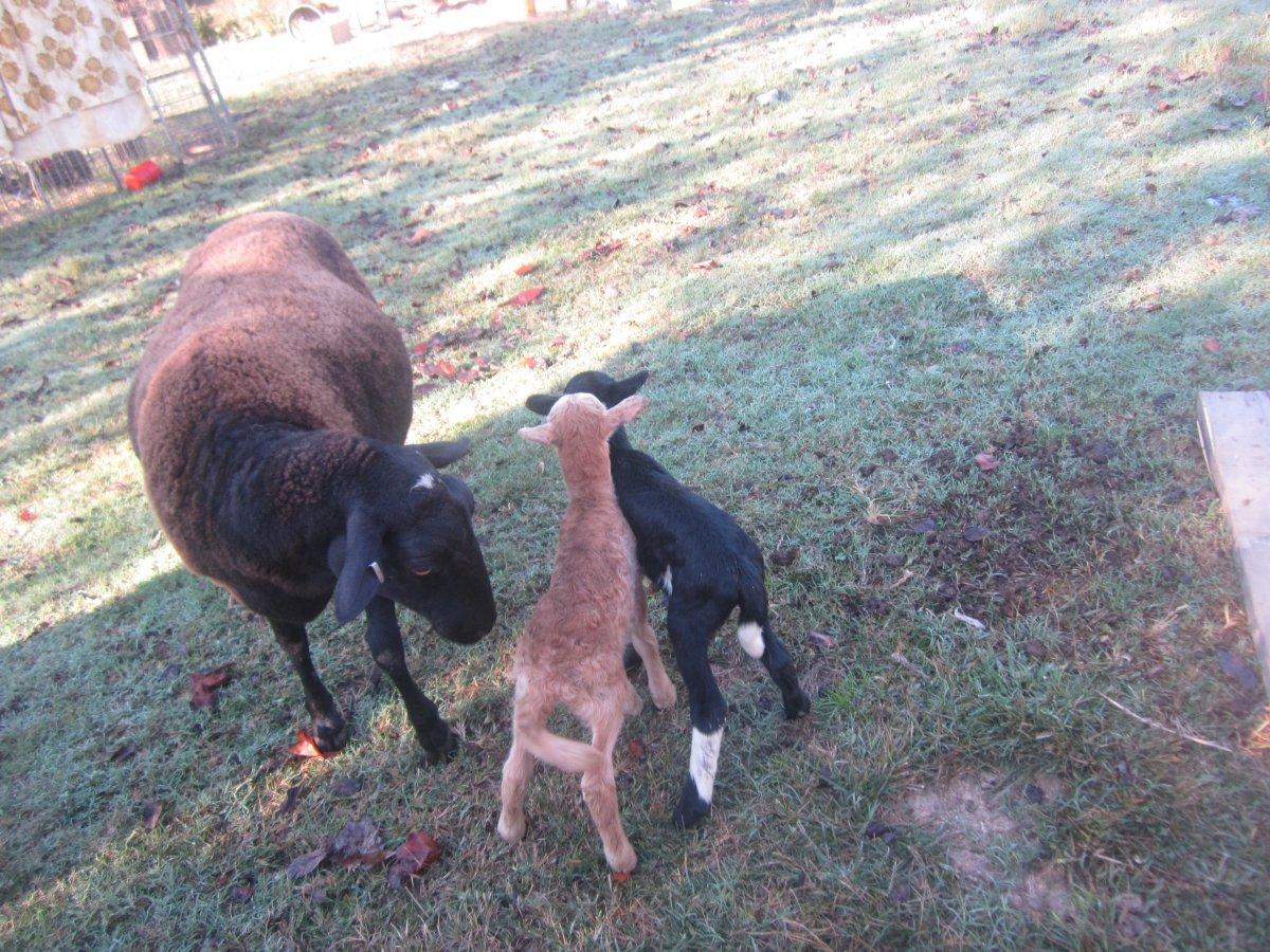 baby sheep 015.JPG