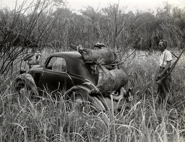 boar pig hunting indonesia fiat sedan sumatra hunter.jpg