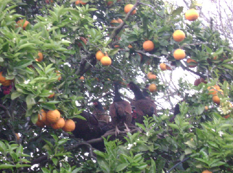 Chickens in Tree.PNG