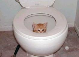 kitten-in-toilet-kittens-34884710-263-191.jpg