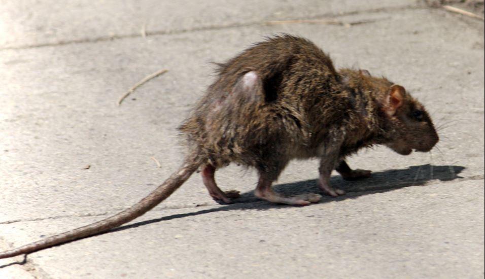 rats-1.JPG