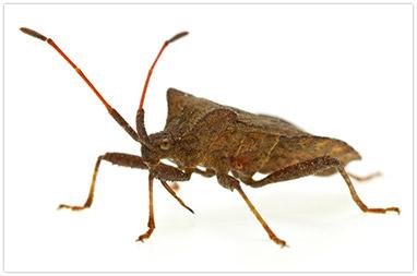 stink-bug-large.jpg