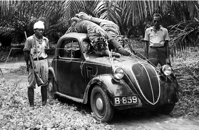 tiger hunting indonesia fiat sedan sumatra hunter.jpg