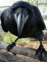 Old_Crow